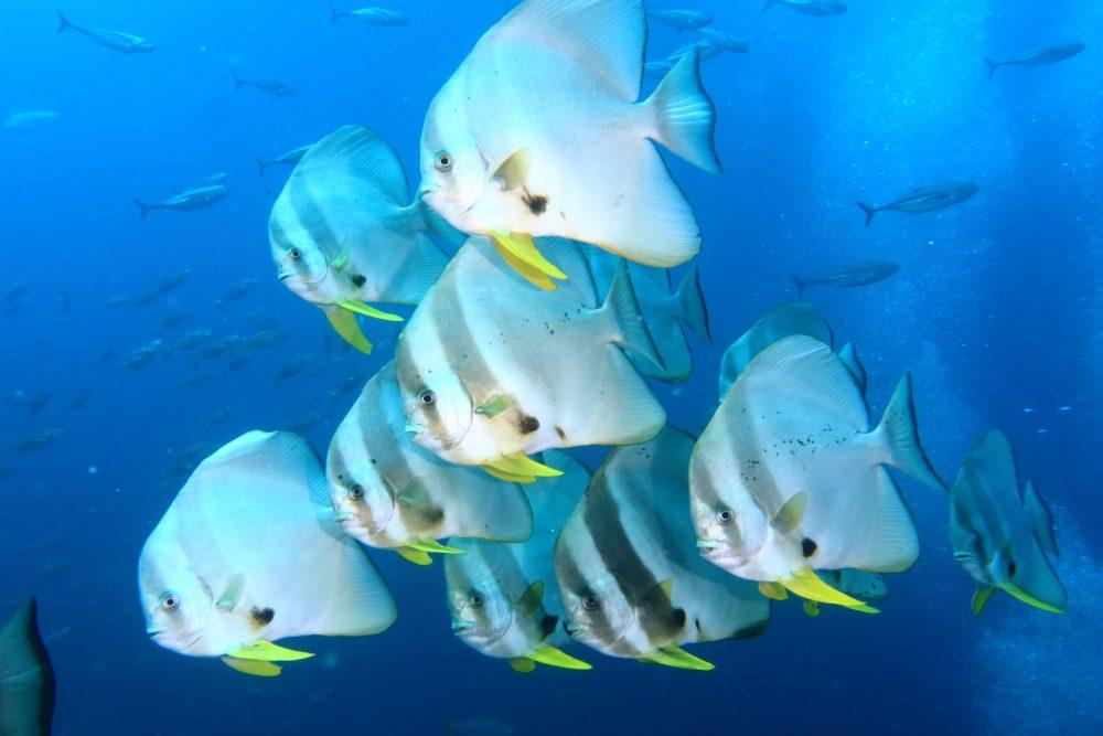 アンダマン海のツバメウオ